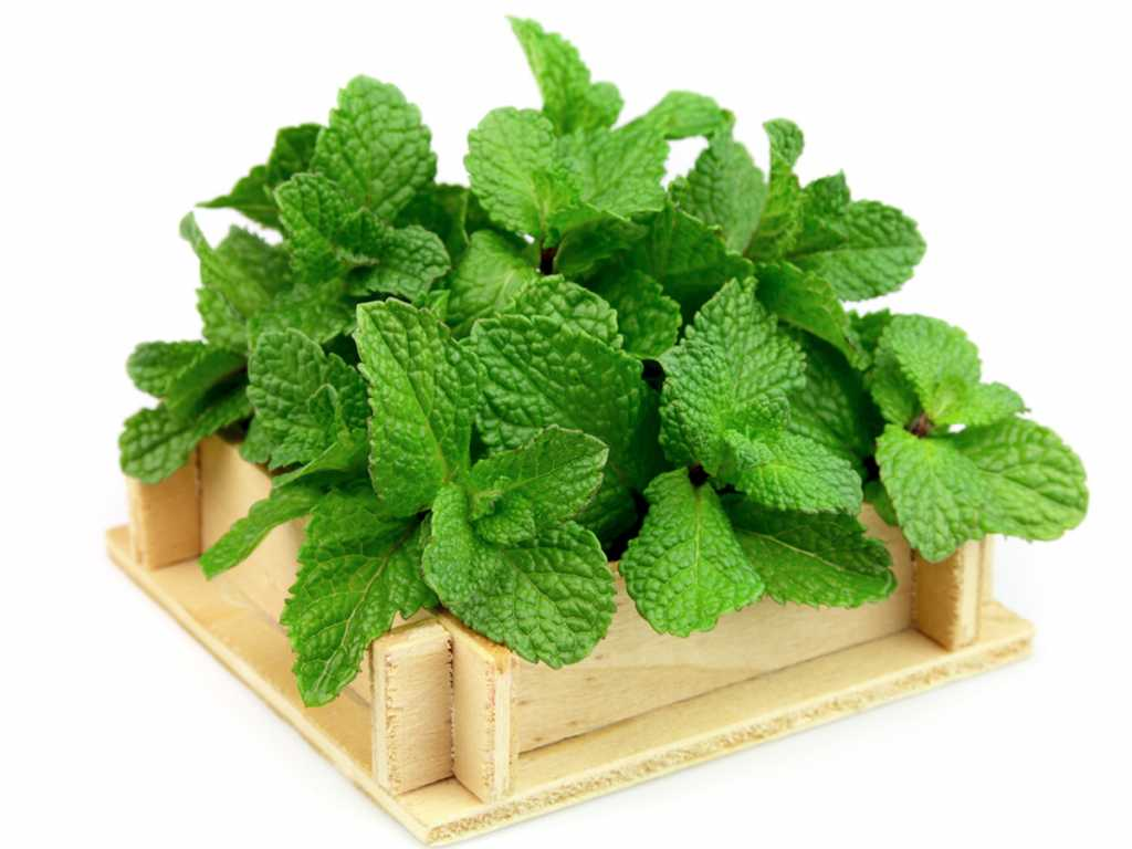 mint leaves benefits for health