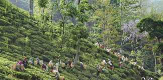 guwahati tea garden