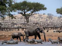 Picture Shows: Elephants and zebra herds at waterhole.
